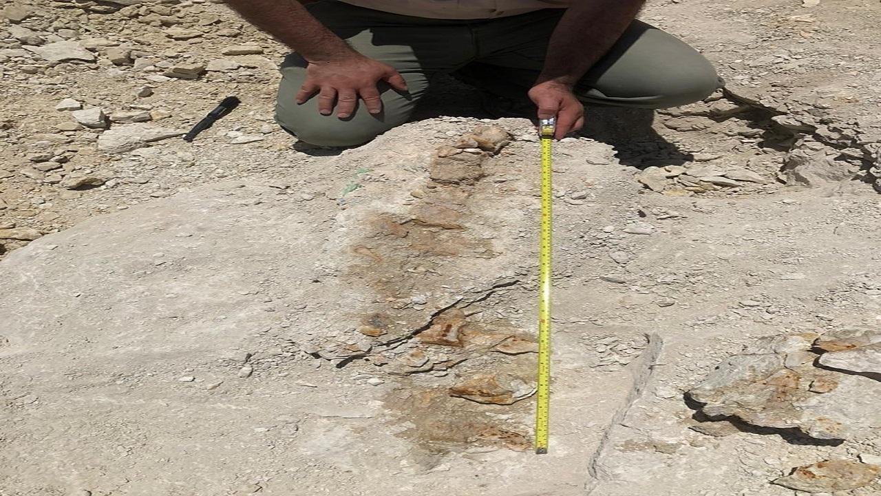 بالفيديو .. المساحة الجيولوجية: الحوت المكتشف شبه كامل ونوعه فريد