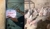 بالفيديو.. ضبط حظائر دجاج مخالفة في البطحاء