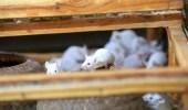 مزارع يحرق الفئران حية بعد تسببها في تلف محاصيله!