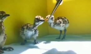 بالفيديو.. طريقة إطعام فراخ طيور «الحبارى» ضمن برنامج إعادة الإكثار