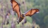 اكتشاف فيروس كورونا جديد في الخفافيش