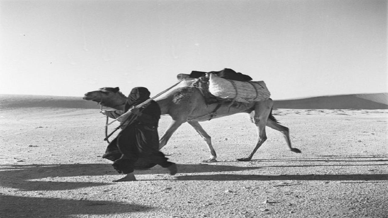 صورة قديمة لسيدة تقود جملها في صحراء المنطقة الشرقية قبل 66 عاماً