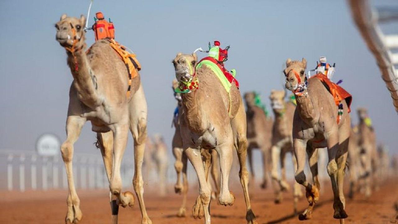 رفع عدد مسابقة الفحل وإنتاجه في مهرجان الملك عبدالعزيز للإبل