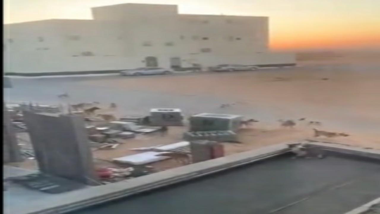 شاهد.. كلاب ضالة في حي الروابي ببريدة تثير ذعر سكان المنطقة