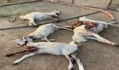 بالصور.. كلاب ضالة تقتل 20 رأساً من الأغنام في حي الجربة بنجران