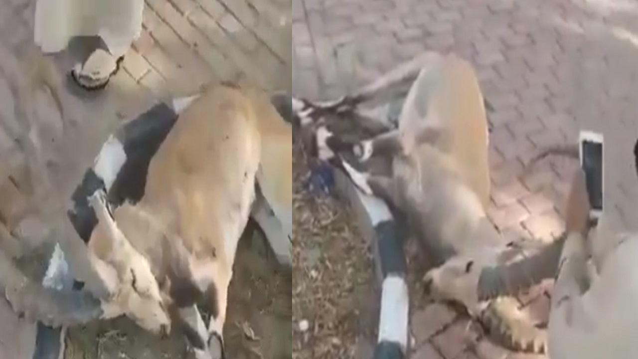 فيديو.. نفوق عدد من الوعول بعد أيام من إطلاقها في بلجرشي