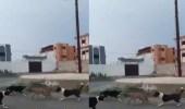 """بالفيديو.. كلاب ضالة تهاجم """"ضبع"""" في محايل عسير"""