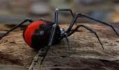 العنكبوت القاتل يظهر في الخليج العربي