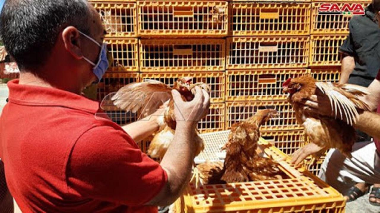 """مدينة إندونيسية توزع """"دجاجاً"""" لتشجيع التلقيح ضد كورونا"""