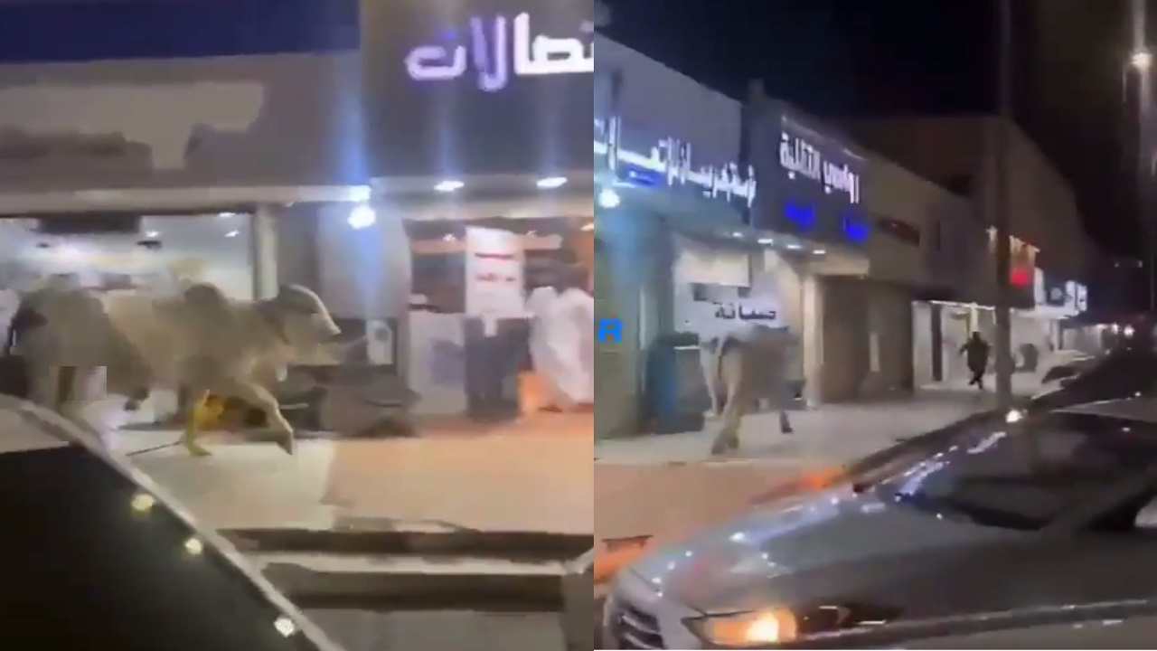 فيديو.. ثور هائج يهاجم المارة في تبوك