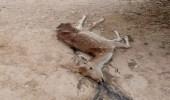 العثور على غزال نافق بمحافظة الدلم