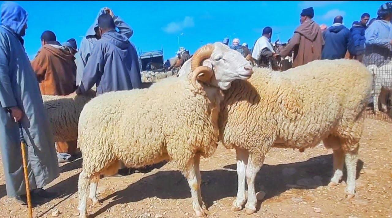 سوق الماشية بمحافظة ينبع يشهد نشاطاً في البيع مع اقتراب عيد الأضحى