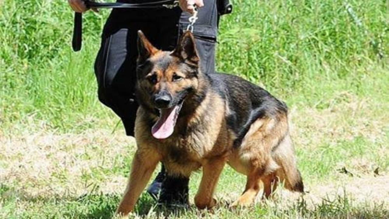 """بالفيديو.. الحياة الفطرية: """"الكلاب البوليسية"""" ليست ضمن الحيوانات المفترسة"""