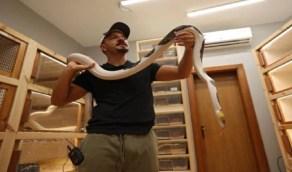 بالفيديو.. مواطن يحترف تهجين الثعابين للخروج بألوان فريدة