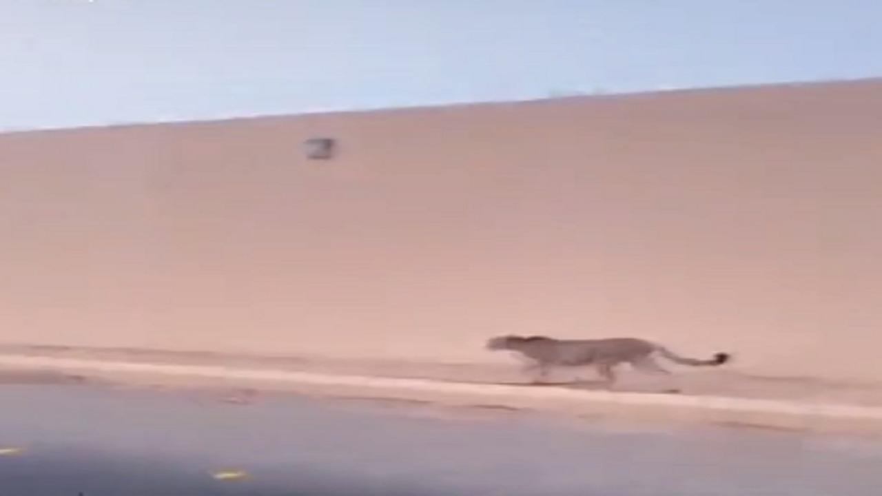 """شاهد.. فهد يسير طليقًا في """"الجبيلة"""""""