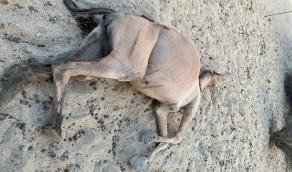 قتل مجموعة من الإبل رميًا بالرصاص في ظروف غامضة بميسان