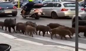 بالفيديو .. خنازير برية تجتاح شوارع روما