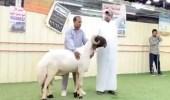 بالفيديو.. مزاد علني لبيع خروف بقيمة 200 ألف دولار