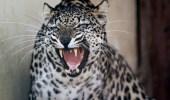 """""""الأمن البيئي"""" يوضح عقوبة صيد النمر العربي"""