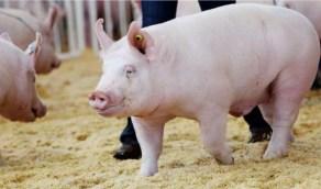 فريق طبي ينجح في زرع كلى خنزير في مريض بشري