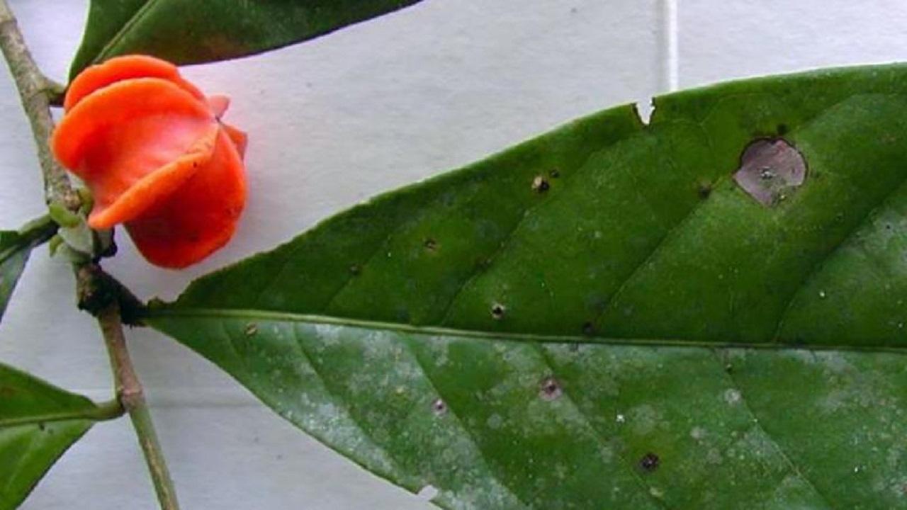 تحديد جنس نبات غامض حير العلماء 50 عاما