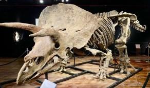 بيع أكبر ديناصور ثلاثي القرون بـ 6 ملايين دولار