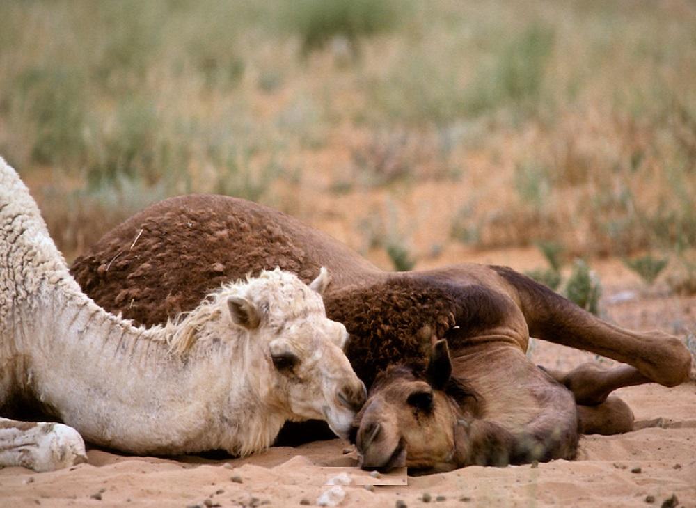 منظر رومانسي لزوجين من الإبل بصحراء الدهناء