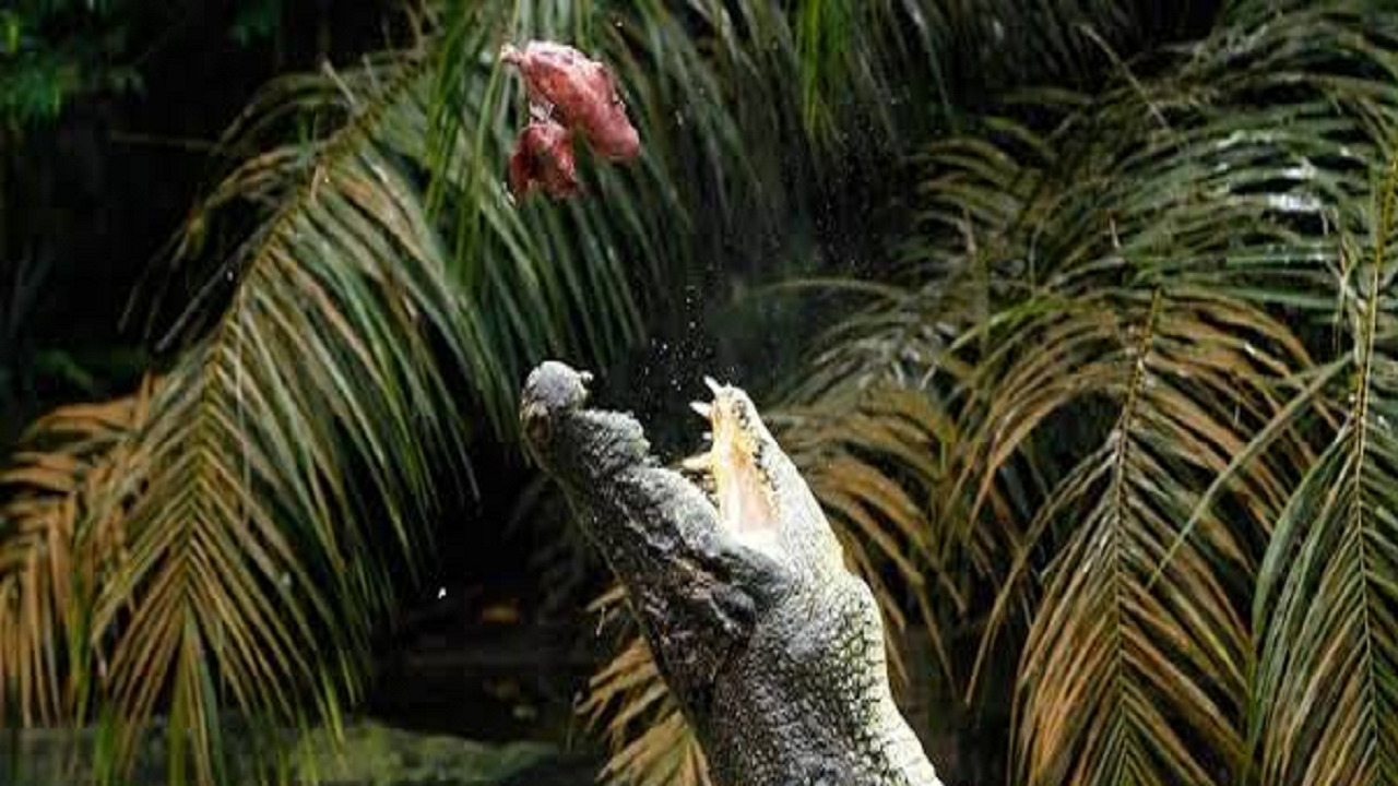 بالصور.. تمساح ينقض على مرشد سياحي ويلتهم ذراعه