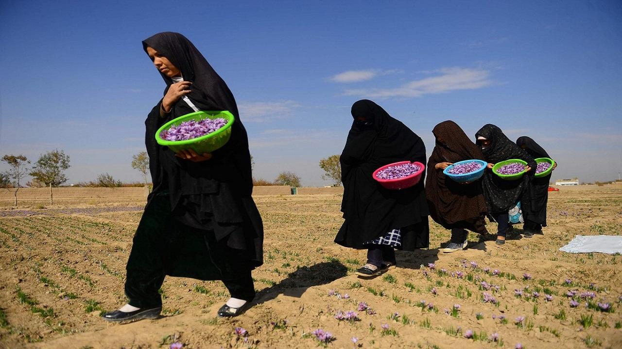 """سيدة أعمال أفغانية تتحدى طالبان بـ """"الزعفران"""""""