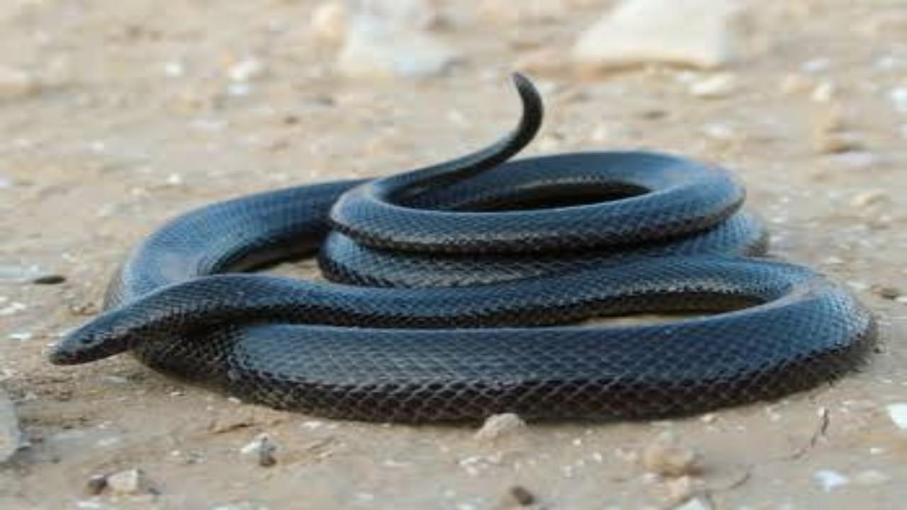 مروض ثعابين يوضح أخطر أنواعها في المملكة