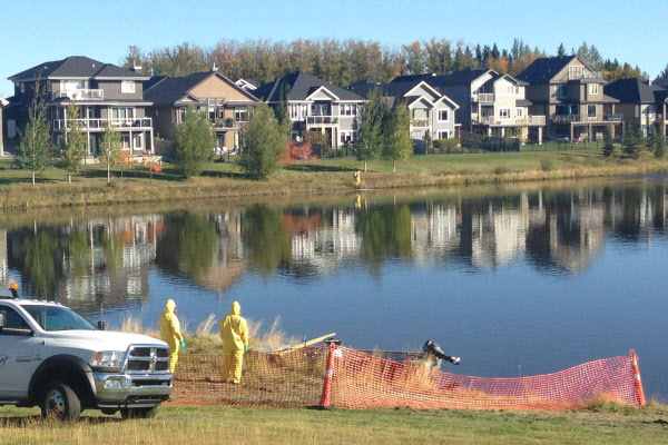 カナダの池に放された金魚