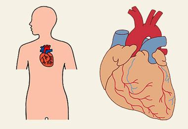 心臓에 대한 이미지 검색결과