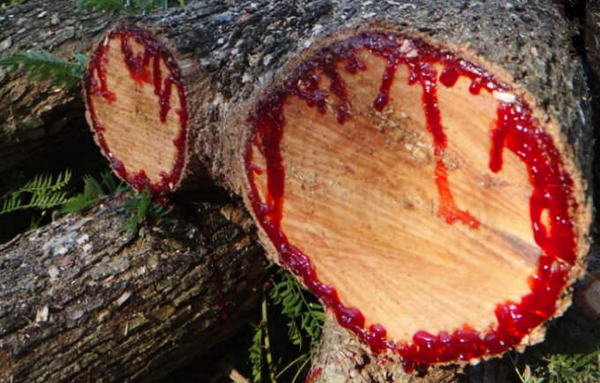 Image result for socotra blood from tree