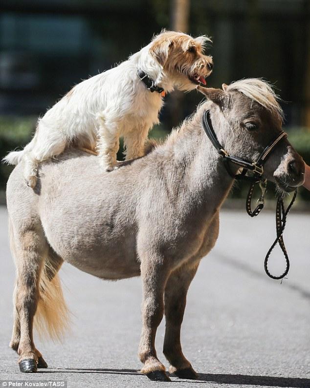 Le Plus Petit Cheval Du Monde : petit, cheval, monde, Gulliver,, Cheval, Petit, Adorable, Monde,, Mesure, Pouces, Vonjour