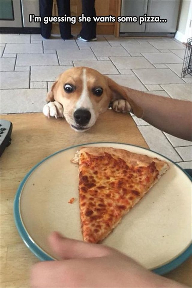 Dog attempting to reach pizza on table