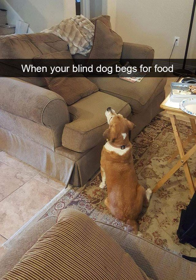 Blind dog begging for food from an empty couch