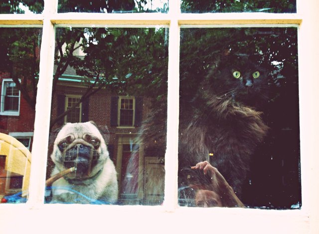 Cat and pug looking through window.