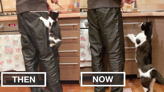 Side by side photos of kitten in a kitchen and as an adult.