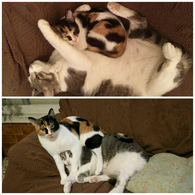 Side by side photos of a cat cuddling with a kitten, and with the same cat as an adult.