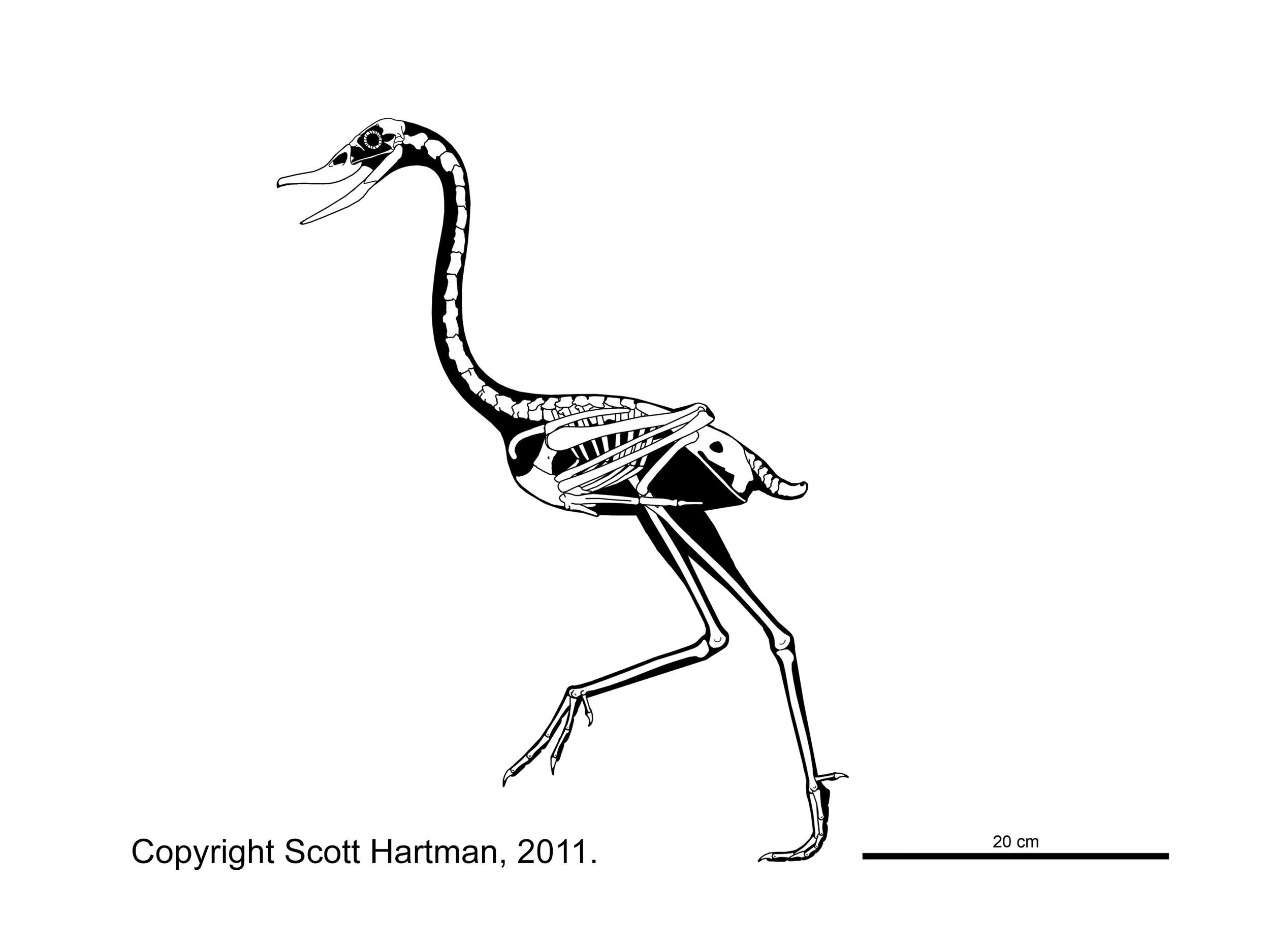 ostrich skeleton diagram what is wiring theropod skeletal reconstructionsscott hartman s drawing com