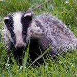 drunk_badger