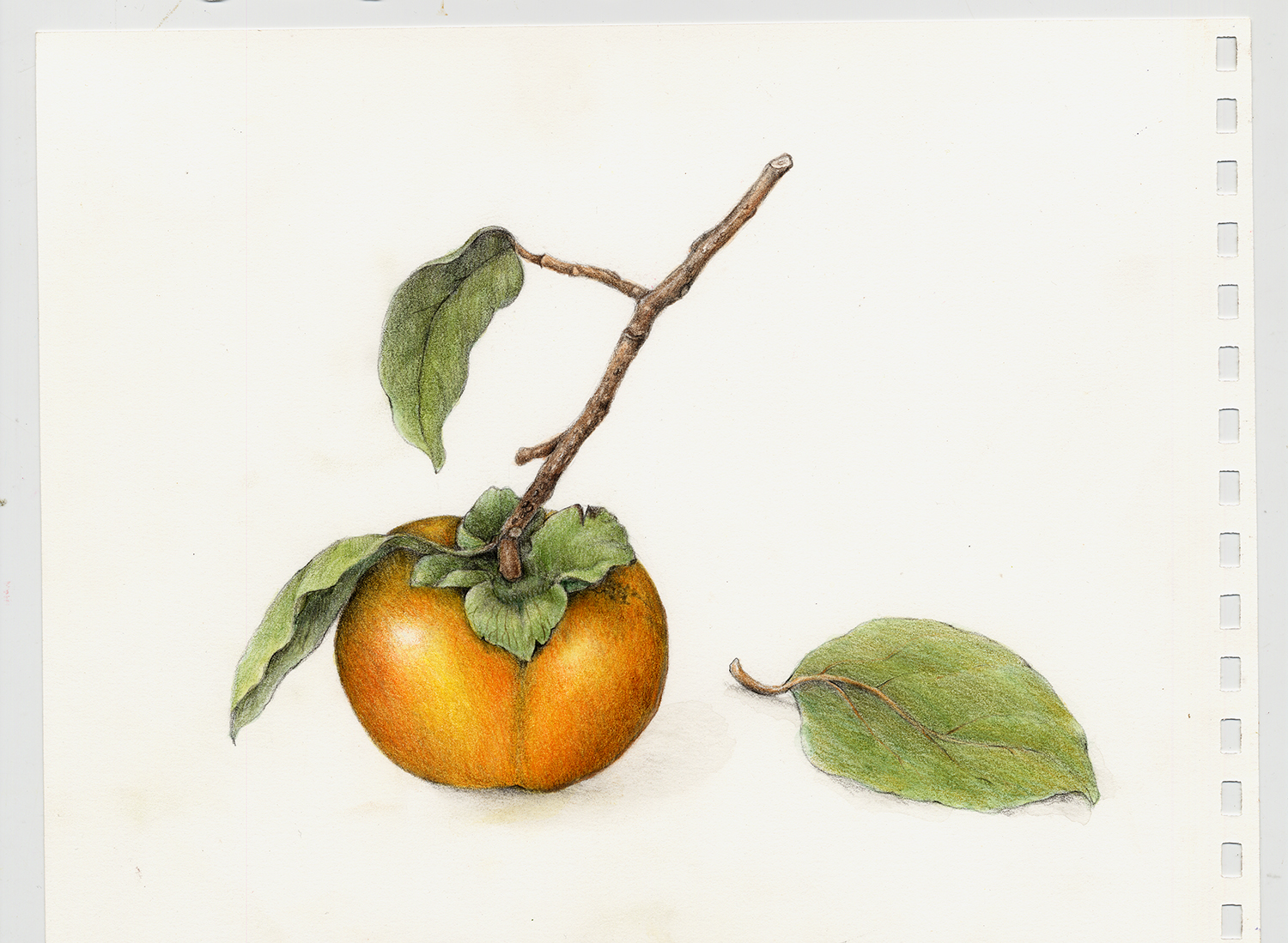 Fruits  Vegetables Gallery Full  Botanical Artist