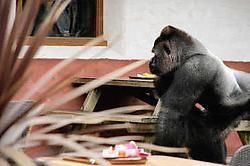 slachtoffer ontsnapte gorilla werd