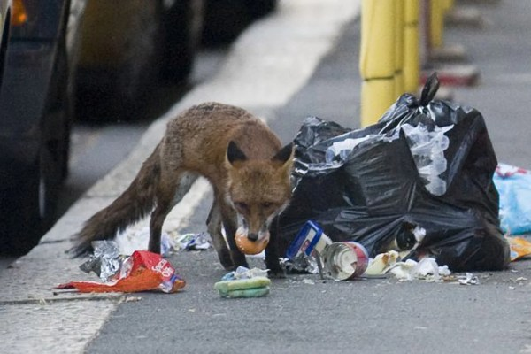 London Council Advises Residents Troubled Urban Foxes