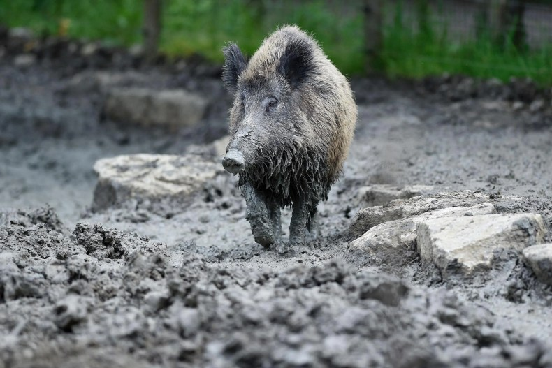 <p>Wild boar have formed gangs in the city of Collserola </p>
