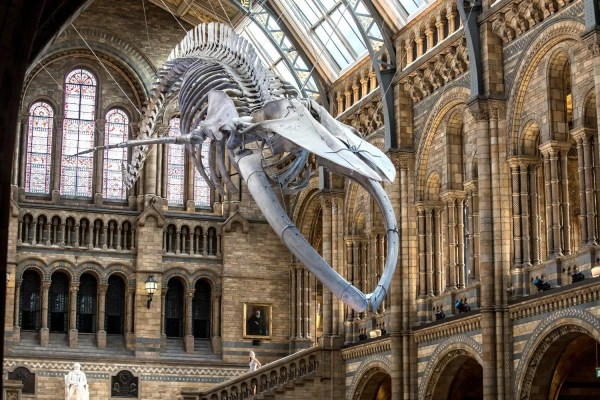 Natural History Museum Unveils Dippy Dinosaur' Replacement London Evening Standard
