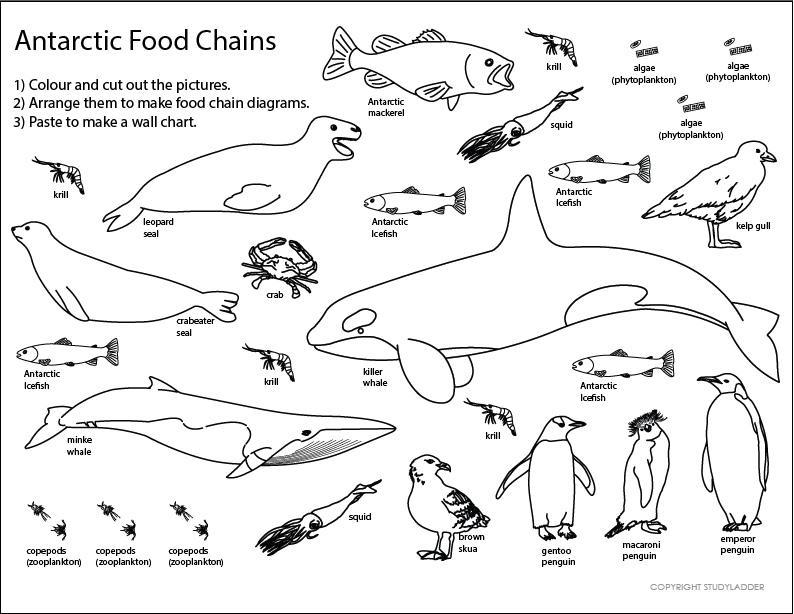 Antarctic Food Chain Sheet, Science skills online