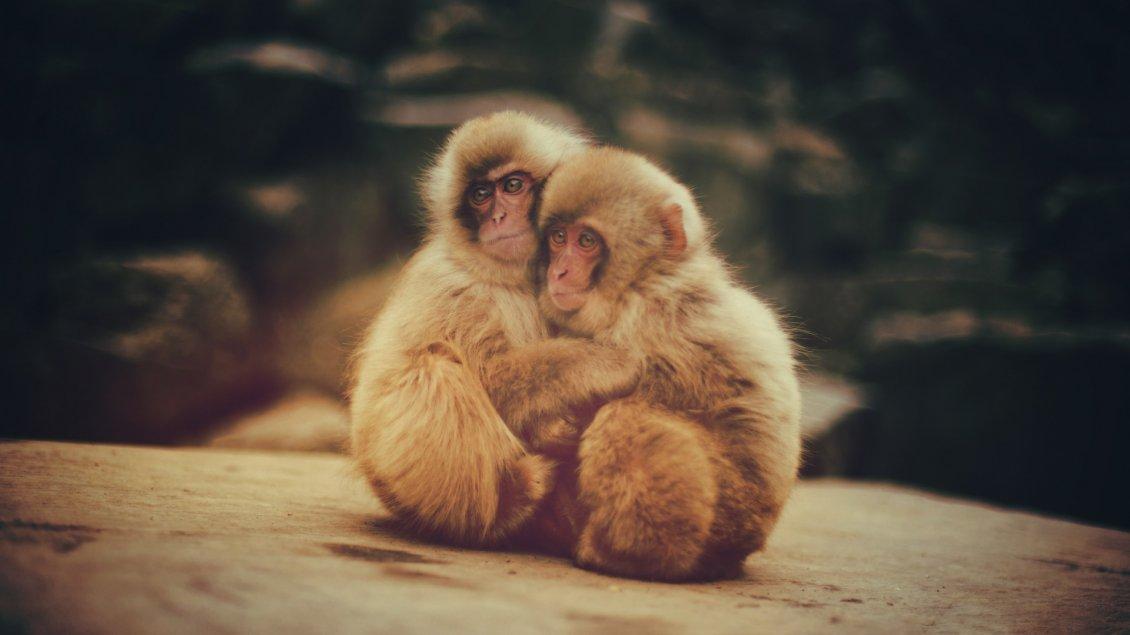 Cute Baby Hug Wallpapers Two Brown Baby Monkeys Embrace