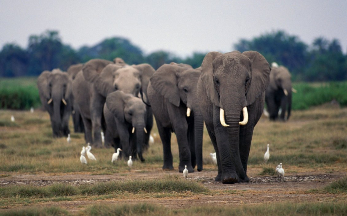 Cute Elephant Cartoon Wallpapers A Herd Of Elephants On The Field And White Birds