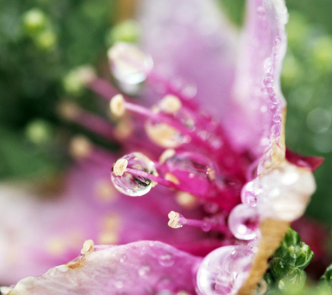 Pink Flower With Dew Drops Flower Wallpaper
